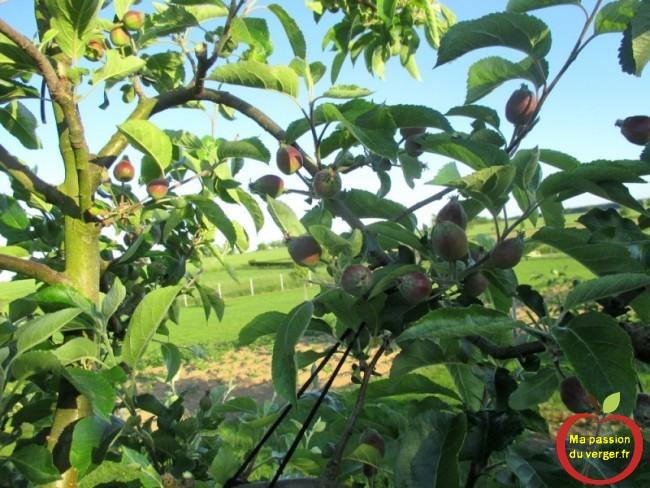 Pommes sur branche arquée avec élastiques pour arcure Triangle