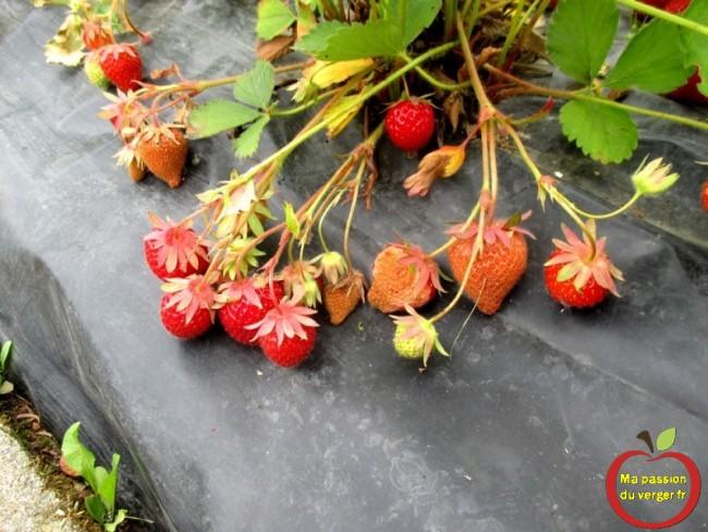 coup de soleil, sur les fraises si ete trop chaud