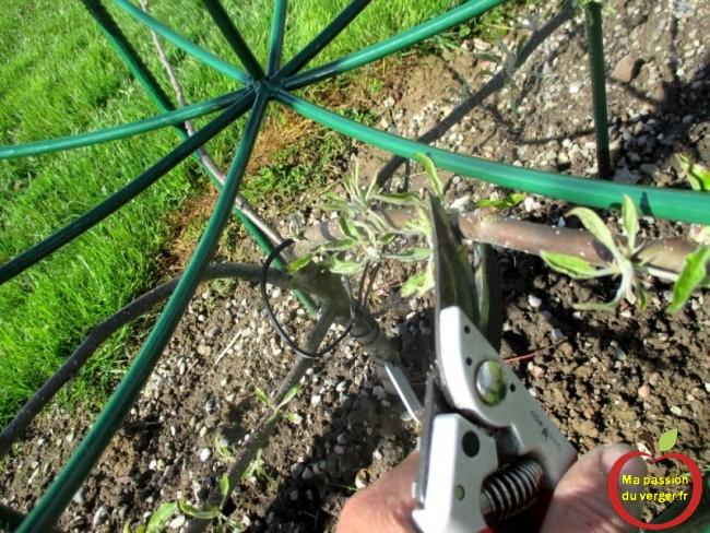 Couper pour freiner les charpentières les plus grosses, pour favoriser les autres.