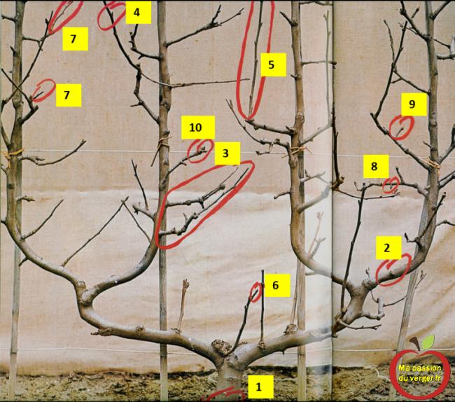 - Tronc - Branches charpentières - Coursonne - Un œil à bois - Rameaux à bois - Rameaux anticipé - Brindille couronnée - Dard - Bouton à fleurs - Bourse.