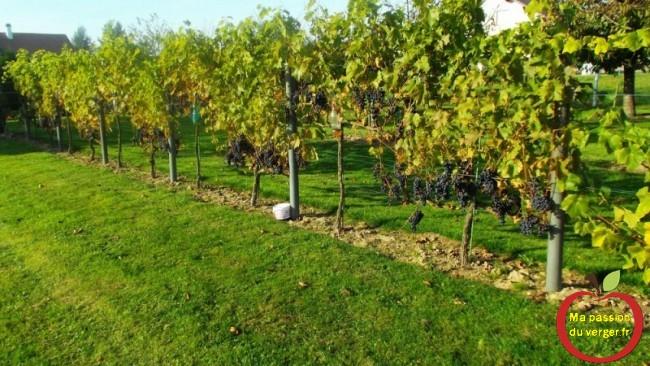 Vigne familiale avec raisin de table pour faire du vin bio