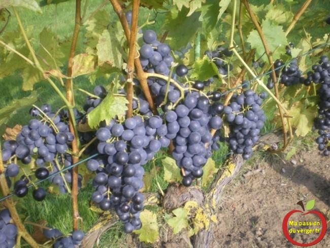 Raisin de table résistant au maladies, pour faire un bon vin bio naturel
