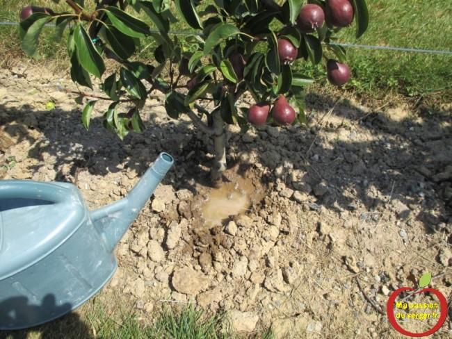 Après le binage des mauvaises herbes, donner de l'eau au jeunes arbres fruitiers, en été, par temps de sècheresse. (20 litres environ, pour un petit fruitier)