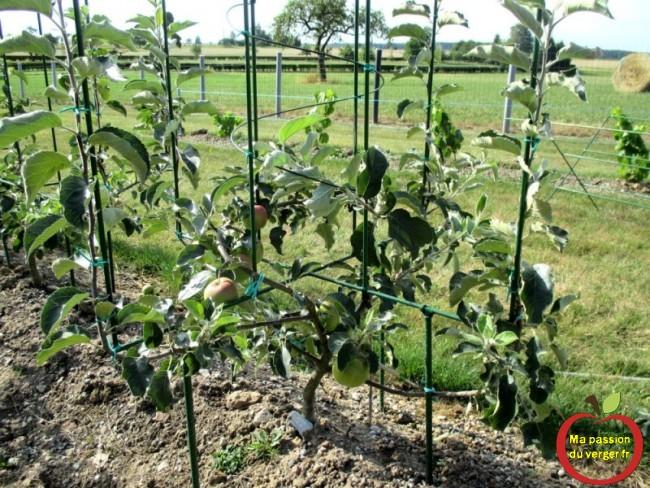 Des fruits uniquement sur l'axe central en spirale, pour favoriser les charpentières extérieures.