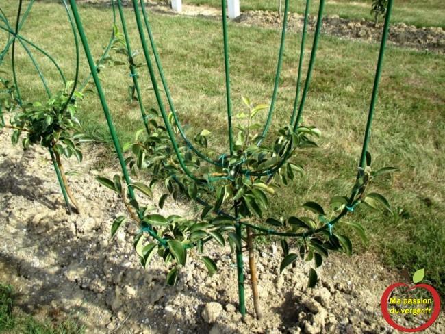 Poirier en espalier tulipe à quatre branches en 3D