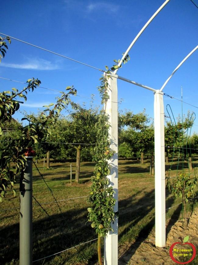 Une seule charpentière sur ce cordon formé en arche, donc on peut laisser, plus de fruits.