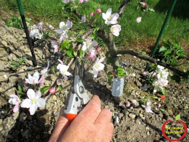 Il faut également couper toutes les fleurs, pour récupérer le plus de sève possible et ainsi espérer beaucoup de nouvelles charpentières.