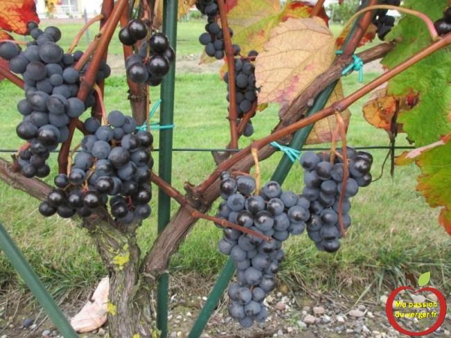 Pour faire un bon vin maison bio à faire soi-même , on préférera s'attacher aux arômes et aux tanins, avec du raisin à maturité.