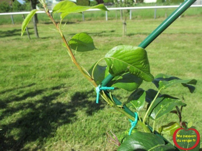 Le liage des branches et des rameaux de fruitier avec un lien souple de 3 mm