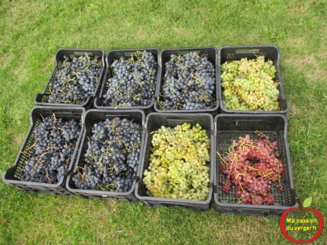 Du bon raisin bien sucré et avec beaucoup de goût.