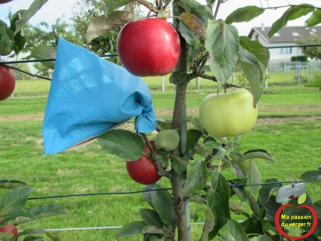 Ces sachets peuvent être utilisés pour le marquage des pommes -Ensachage des fruits- mettre des sachets sur les fruits-