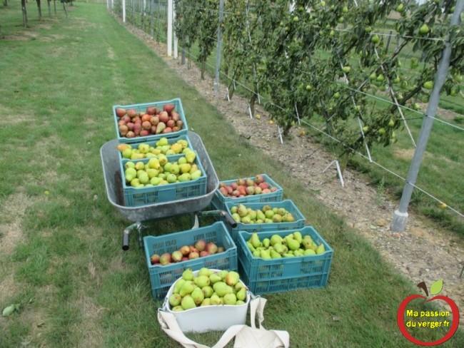 Triangle outillage- Triangle -Très efficace et très rapide, ce panier de récoltes de pommes et poires, avec sa contenance de 18 ou 22 litres