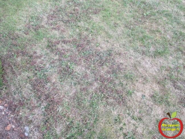 comment enlever les mauvaises herbe dans le gazon, avant de resemer