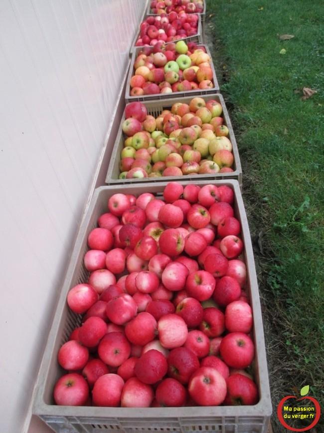 mûrissement des pommes pour l'eau-de-vie