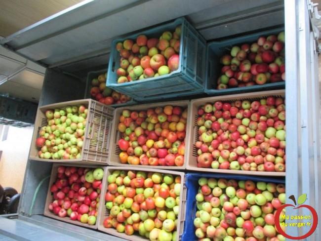 des pommes saines et propre pour une bonne eau de vie de pomme