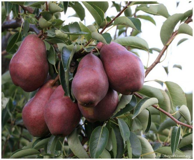 Des belles poires juteuses et bien sucrées