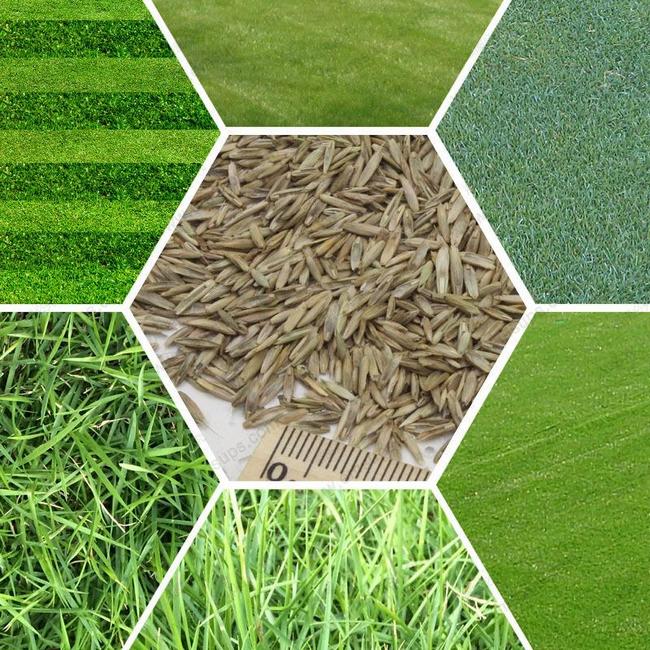 différentes variétés de semence de gazon