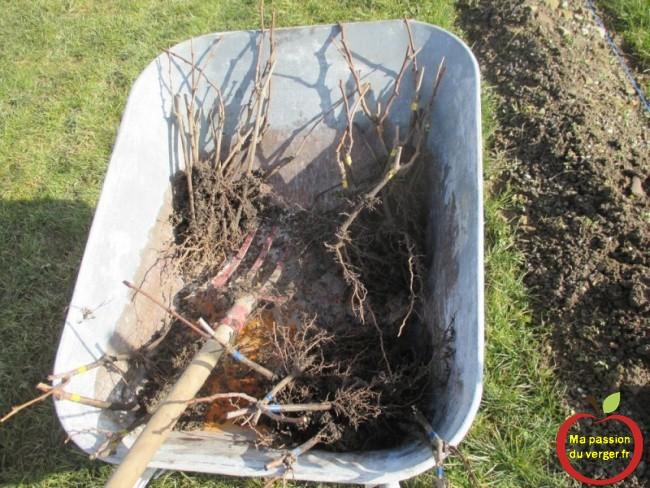 plantation des pieds de vigne