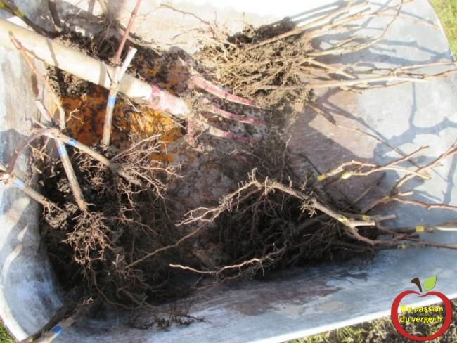 replanter les pieds de vigne boutures l'annee suivante pour realiser votre vignoble