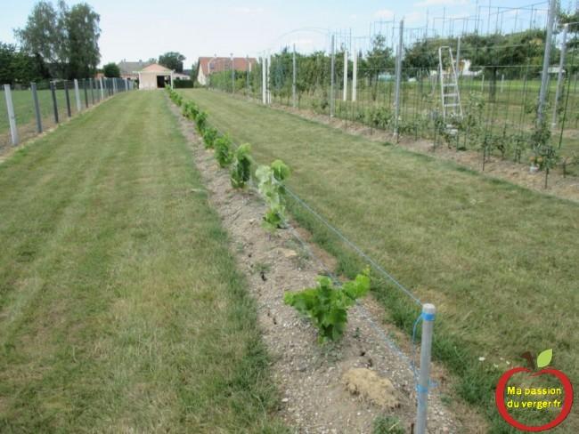 nouvelle plantation de vignes resistantes de bouturage