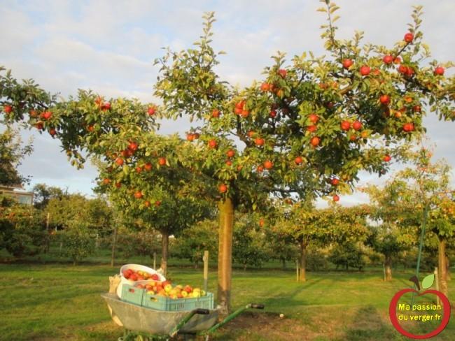 la cueillette des pommes de mon verger ma passion