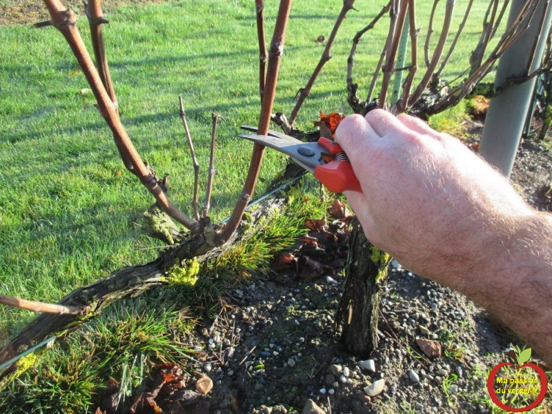 Le bouturage de la vigne ma passion du verger - Comment planter une vigne ...