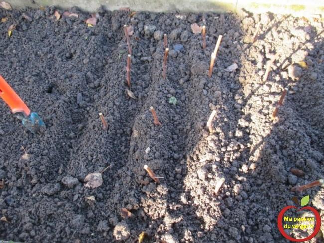 plantation des boutures de vignes au jardin