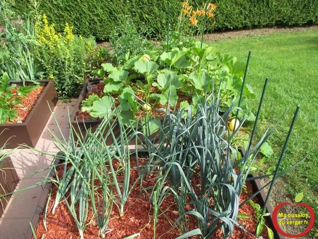 Des beaux légumes dans le potager en carré