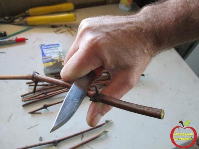 regrevudnoissapamegres - bouture de vignes - mutiplier les vignes - bouturage en coupant un oeil en biseau, sur un morceau de sarment de vigne