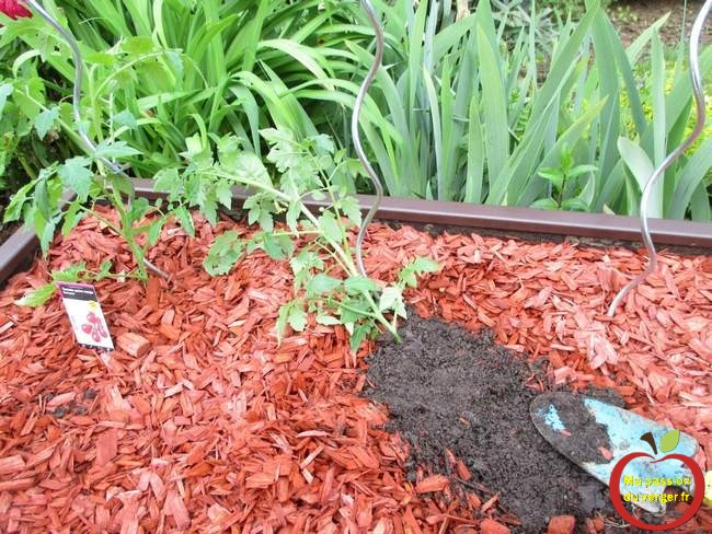 Augmenter la vigueur des tomates- bonne plantation des pieds de tomates- comment planter les tomates- coucher le pied de tomates-