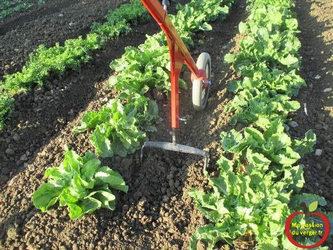 binage-entre-les-salades-du-potager- le binage mecanique du potager- binette à roue- pousse_pousse- sacleur à roue- désherbage manuel potager- binage potager.