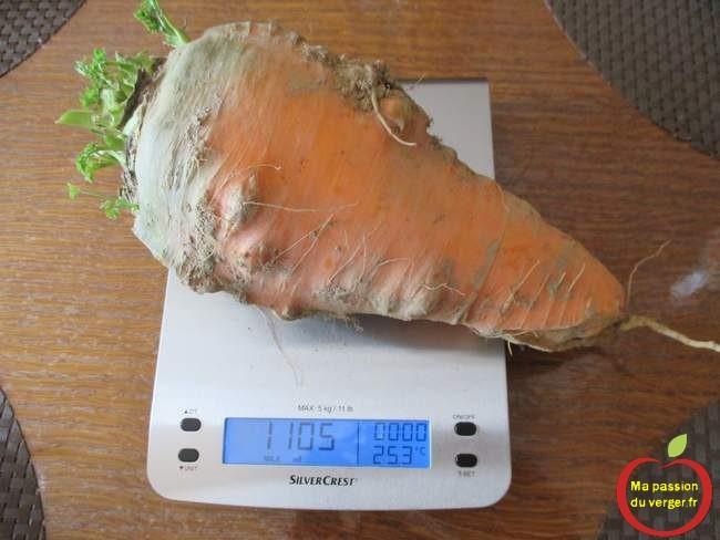 carotte-geante-de-1,1-kg