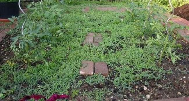 potager-avec-mauvaises-herbes