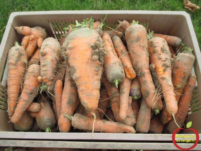 recolte-des-carottes-2016-avec-la-houe-maraichere