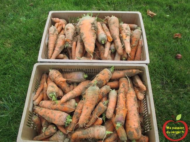 recolte-des-carottes-apres-le-binage-avec-la-houe-maraichere