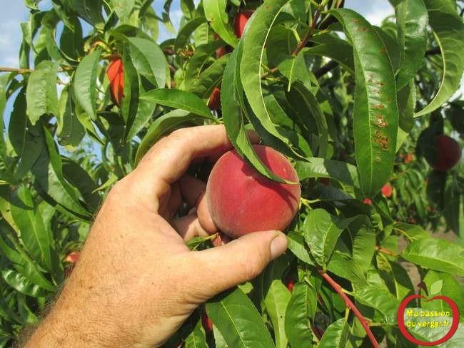 quand-cueillir-les-peches-et-nectarines-la-recolte-des-peches-et-nectarines
