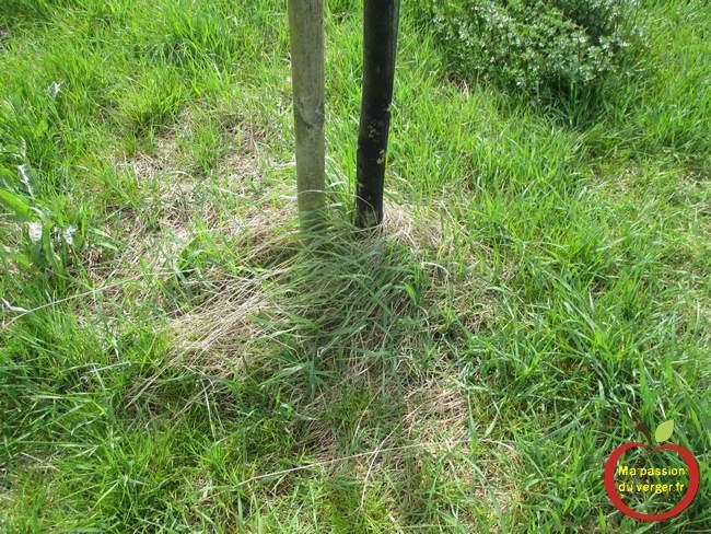 Éviter de laisser l'herbe au pied des arbres-campagnols