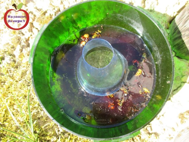 capture de reines de guêpes et frelons au printemps- comment éliminer un nid de guêpe ou frelons-