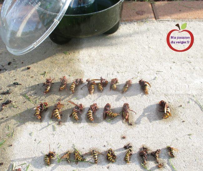 vider piège à frelons- vider piège à guêpes- quand vider un pièges avec des guêpes- comment vider un piège à frelons- tester un piège à guêpes- reines de guêpes et frelons