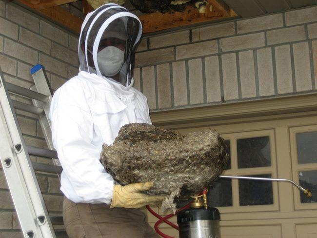 Enlever un nid de guêpes- comment enlever un nid de gûepes- faire enlever un nid de guêpes - détruire nid de guêpes- détruire nid de frelo- enlever niod de frelon- comment enlever nid de frelon-nid de frelon sur le toit-nid de frelon dans la maison-