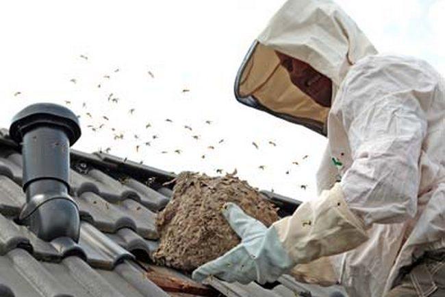 comment enlever un nid de guêpes sur le toit- enlever un nid de frelons sur le toit- enlever un nid de guêpes sous les tuiles- enlever un nid de frelons sous les tuilles.