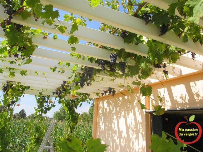Ma treille avec du raisin de table -ma pergola avec du raisin de table -pergola avec de la vigne- treille avec vigne- taille pergola pour vigne- quelle variété de vigne pour pergola