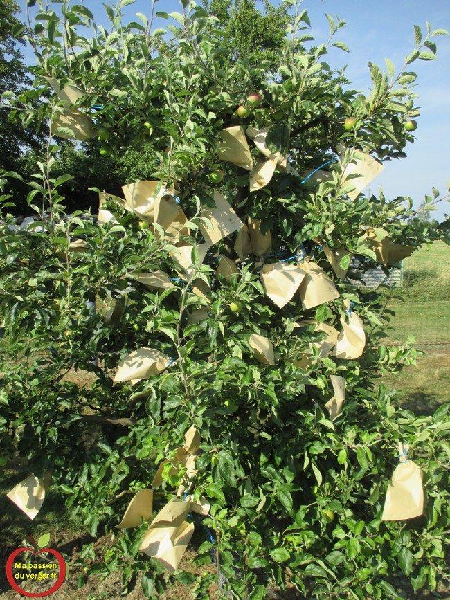 L'ensachage pour la protection avec des petits sacs en papier kraft -Ensachage des fruits- mettre des sachets sur les fruits-
