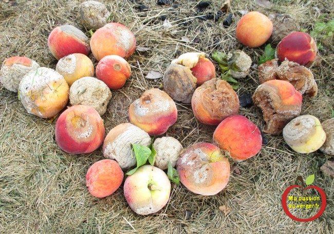 Tous vos fruits au sol, entrain de pourrir, car attaqué par les guêpes, les frelons, ... -pêches-pommes-poires-mirabelle-