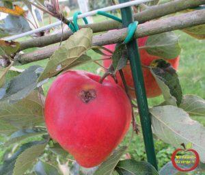 Parmi les insectes qui s'attaquent aux fruits, celui qui fait le plus de dégâts est, certainement, le Carpocapse des pommes et des poires, cause de la chute prématurée d'un grand nombre de fruits avant maturité. La pratique de l'ensachage limite les dégâts faits par cet insecte, dont la deuxième génération ne peut venir pondre, en juillet, sur les fruits alors enfermés dans les sacs