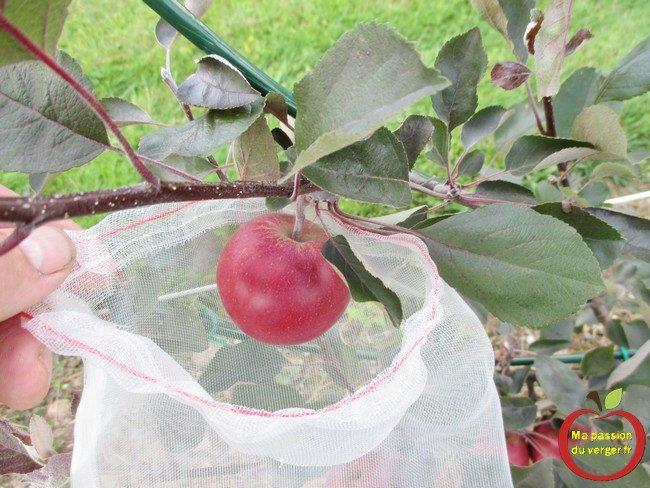 L'ensachage des pommes- housse à fruits- l'ensachage des fruits et du raisin-L'ensachage des pommes- housse à fruits- l'ensachage des fruits et du raisin- sachet anti-insecte pour les fruits- comment protéger les pommes contre les guêpes et les frelons-comment protéger les pommes contre le carpocapse- comment protéger les pomme contre les oiseaux- sachet anti-insecte pour les fruits- comment protéger les pommes contre les guêpes et les frelons-comment protéger les pommes contre le carpocapse- comment protéger les pomme contre les oiseaux- quand faire l'ensachage des pommes-comment faire l'ensachage des fruits- pourquoi faire l'ensachage des fruits-