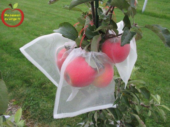 L'ensachage des pommes- housse à fruits- l'ensachage des fruits et du raisin- sachet anti-insecte pour les fruits- comment protéger les pommes contre les guêpes et les frelons-comment protéger les pommes contre le carpocapse- comment protéger les pomme contre les oiseaux