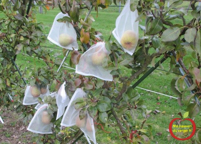 L'ensachage des poires- housse à fruits- l'ensachage des fruits et du raisin- sachet anti-insecte pour les fruits- comment protéger les poires contre les guêpes et les frelons-comment protéger les pommes contre le carpocapse- comment protéger les poires contre les oiseaux- quand faire l'ensachage des poires-comment faire l'ensachage des fruits- pourquoi faire l'ensachage des poires-
