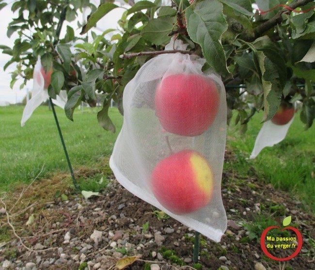 L'ensachage des pommes- housse à fruits- l'ensachage des fruits et du raisin- sachet anti-insecte pour les fruits- comment protéger les pommes contre les guêpes et les frelons-comment protéger les pommes contre le carpocapse- comment protéger les pomme contre les oiseaux- quand faire l'ensachage des pommes-comment faire l'ensachage des fruits- pourquoi faire l'ensachage des fruits-