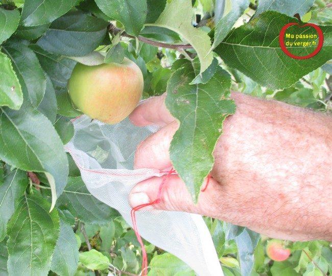 L'ensachage des pommes- housse à fruits- l'ensachage des fruits et du raisin- L'ensachage des pommes- housse à fruits- l'ensachage des fruits et du raisin- sachet anti-insecte pour les fruits- comment protéger les pommes contre les guêpes et les frelons-comment protéger les pommes contre le carpocapse- comment protéger les pomme contre les oiseauxsachet anti-insecte pour les fruits- comment protéger les pommes contre les guêpes et les frelons-comment protéger les pommes contre le carpocapse- comment protéger les pomme contre les oiseaux- quand faire l'ensachage des pommes-comment faire l'ensachage des fruits- pourquoi faire l'ensachage des fruits-